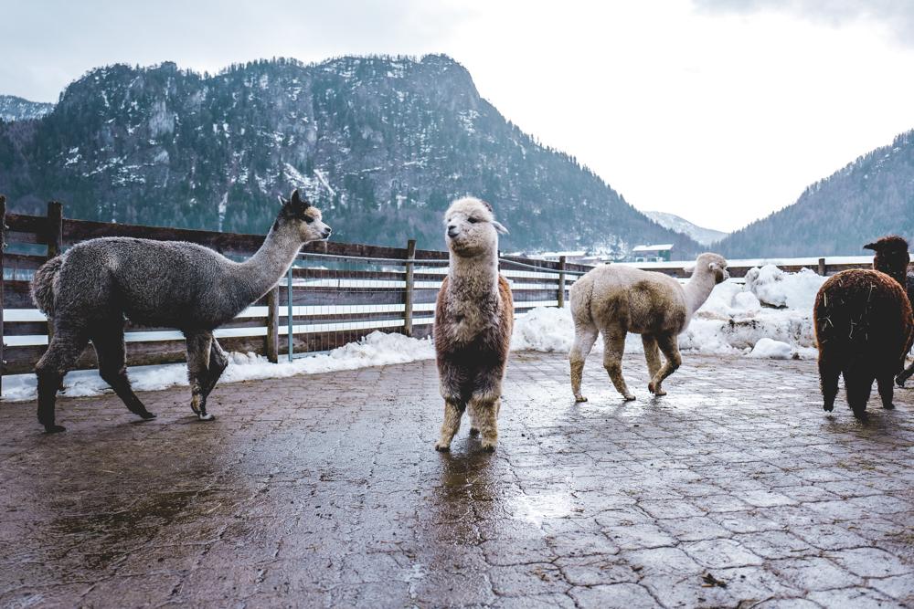 Alpaka-Inzell-Wandern-Alpakawanderung-Tipps-5