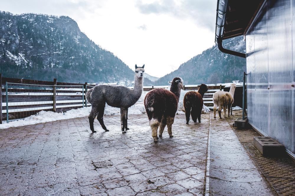 Alpaka-Inzell-Wandern-Alpakawanderung-Tipps-50