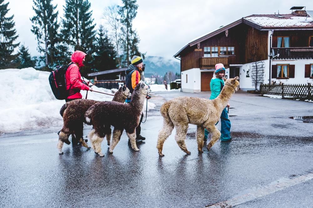 Alpaka-Inzell-Wandern-Alpakawanderung-Tipps-28