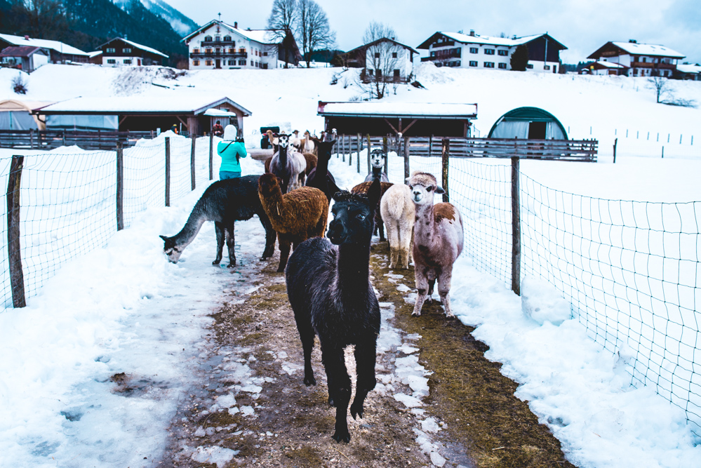 Alpaka-Inzell-Wandern-Alpakawanderung-Tipps-58