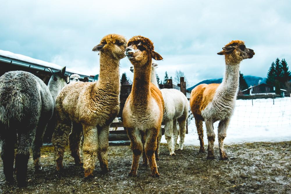 Alpaka-Inzell-Wandern-Alpakawanderung-Tipps-23
