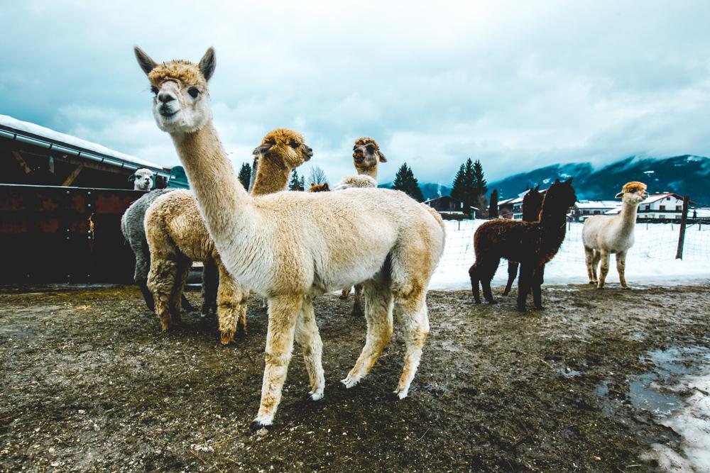 Alpaka-Inzell-Wandern-Alpakawanderung-Tipps-73