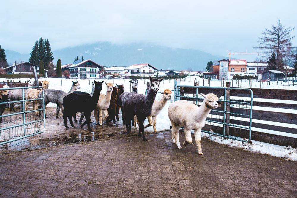 Alpaka-Inzell-Wandern-Alpakawanderung-Tipps-40