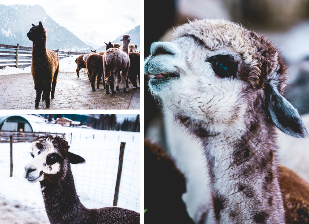 Alpaka-Inzell-Wandern-Alpakawanderung-Tipps-62