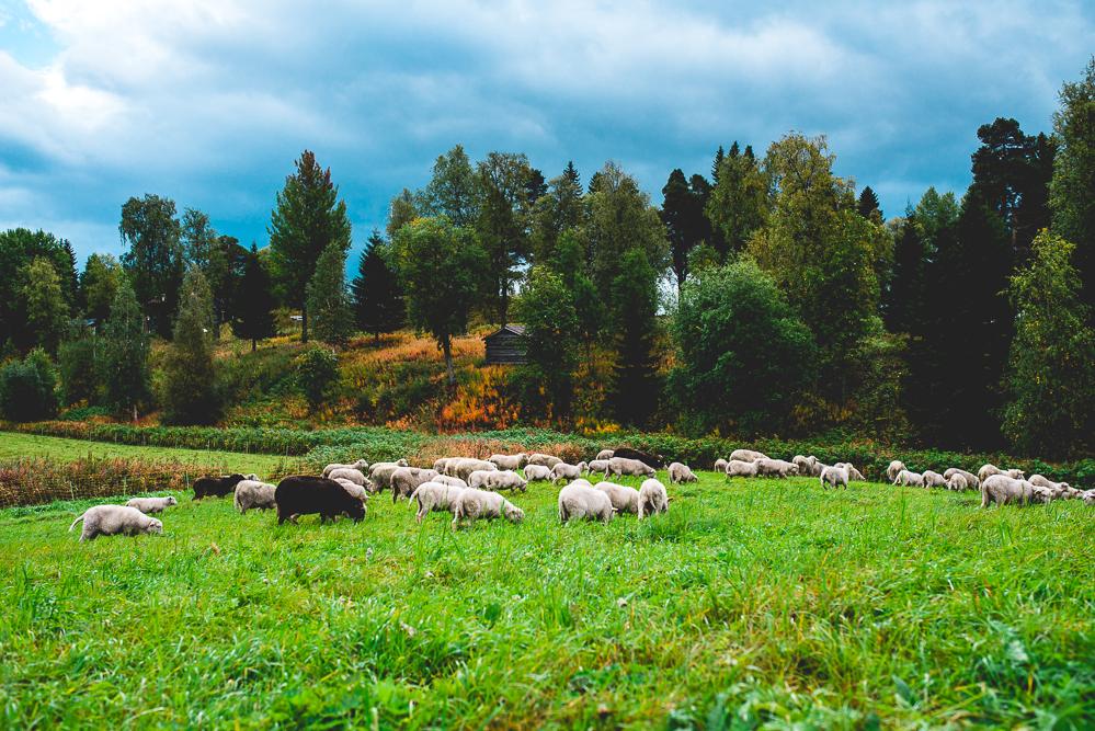 Fjallraven-Schafzucht-Schafe-Schweden-Outdoor-Brattlandsgarden-68