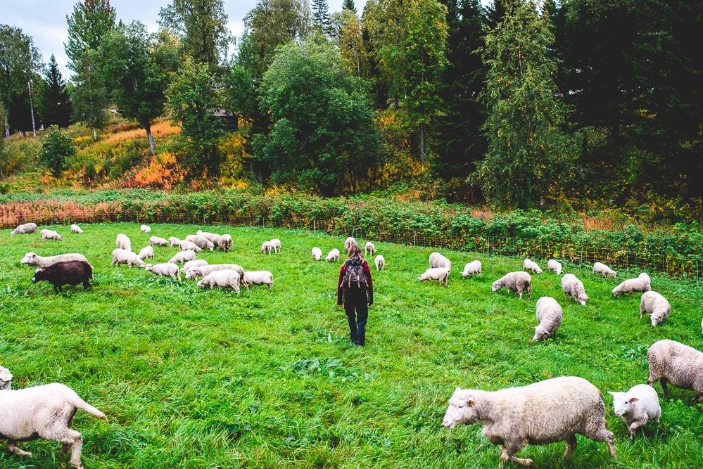 Fjallraven-Schafzucht-Schafe-Schweden-Outdoor-Brattlandsgarden-10