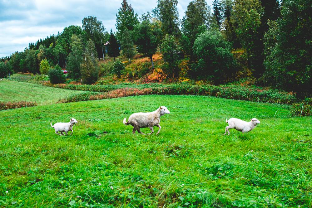 Fjallraven-Schafzucht-Schafe-Schweden-Outdoor-Brattlandsgarden-50